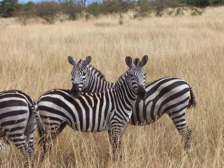 Two zebras in Tanzania