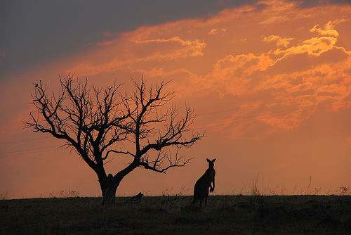 Kangaroo and sunset